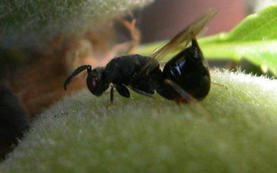 La Compagnie des Amandes complète son équipe avec une thésarde pour trouver des solutions de biocontrôle contre Eurytoma