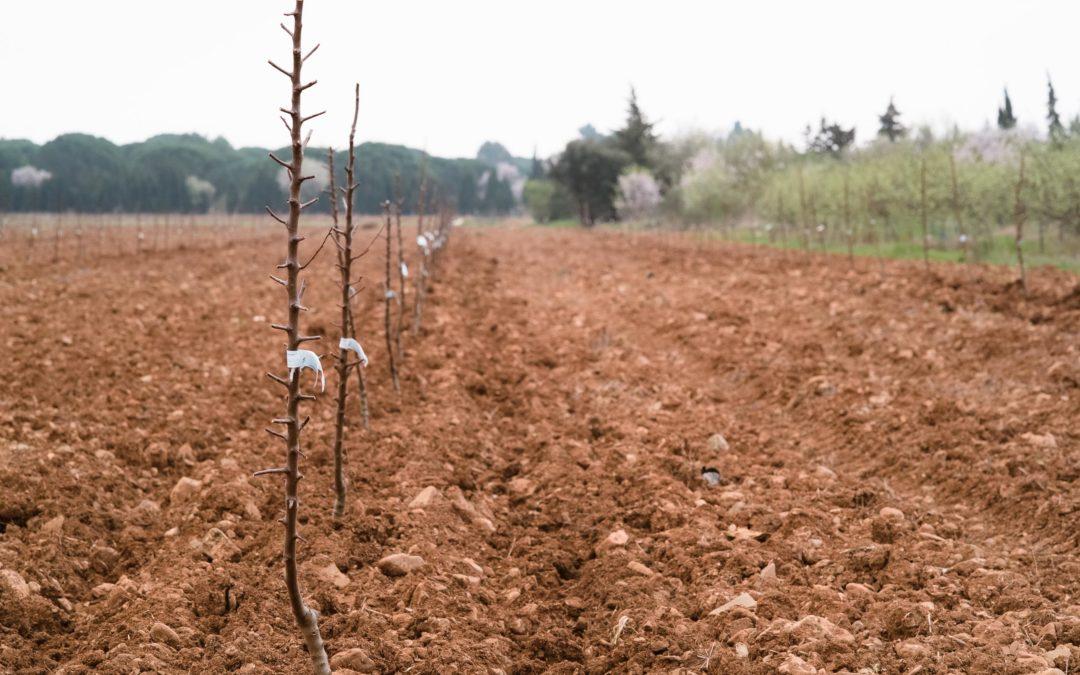 Première plantation de la Compagnie des Amandes dans l'Aude